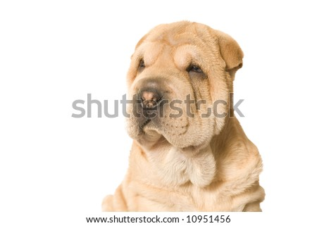 A young sharpei pup posing in the studio