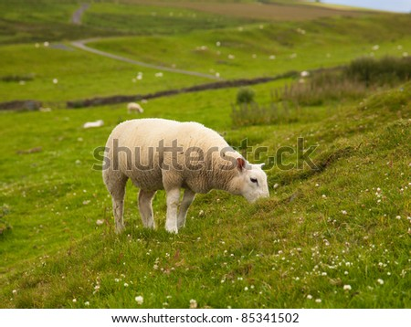 A young sheep grazes on clover in an English field