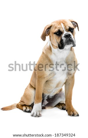 A young six month old continental Bulldog laying against a white background and looking at the camera - stock photo