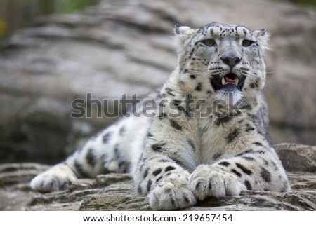A young Snow Leopard resting on some rocks - stock photo