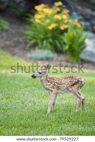 A young spotted fawn standing on a green lawn with shallow depth of field - stock photo