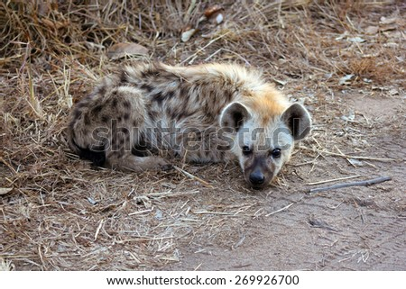 A young spotted hyena (Crocuta crocuta) lies next to a road in a game reserve. - stock photo