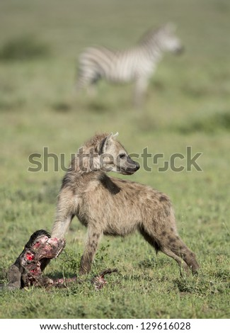 A young Spotted Hyena (Crocuta crocuta) with a wildebeest skull in the Ndutu area of the Ngorongoro Conservation area, Tanzania - stock photo