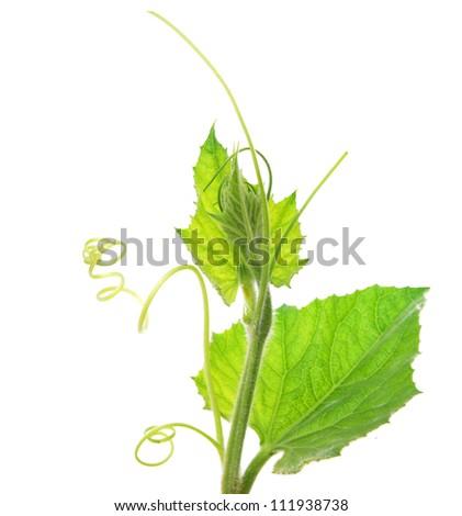 A young squash vine - stock photo