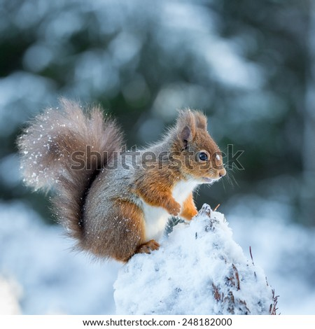 A young squirrel kitten exploring the forest  - stock photo