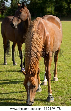 A young thoroughbred horse grazing in a summer paddock - stock photo