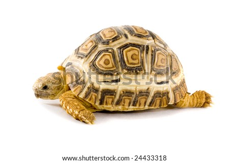 a young tortoise - Geochelone Pardalis - on the white background - close up - stock photo
