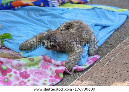 A young two-toed sloth on blankets in a rescue center - stock photo