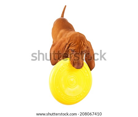 A young Vizsla breed dog playing with a yellow frisbee disc - stock photo