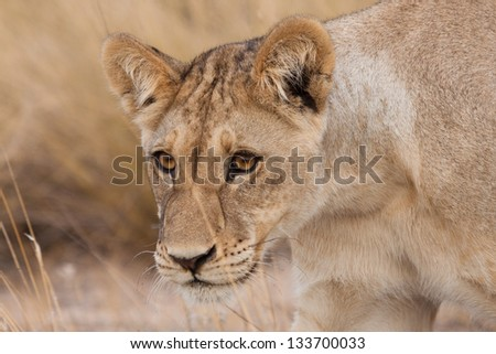 A young watchful lion cub