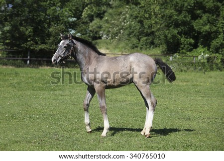 a young white Holsteiner Warmblood Foal running on a meadow