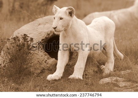 A young white lion cub stands next to a termite mound in this sepia tone image.