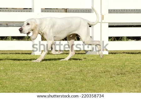 A young, white Porcelaine dog walking on the grass The Chien de Franche-Comte has a shiny coat, black nose with wide nostrills, long floppy drooping ears, long neck and is used for hunting - stock photo