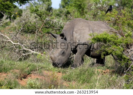 A young white rhino appears from behind a bush. South Africa - stock photo
