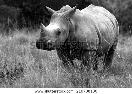 A young white rhino / rhinoceros calf in this black and white image.