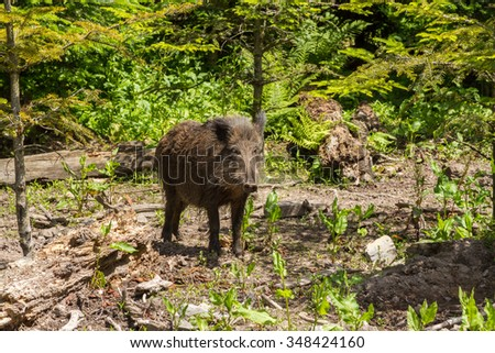 A young wild boar in a natural forest in Germany