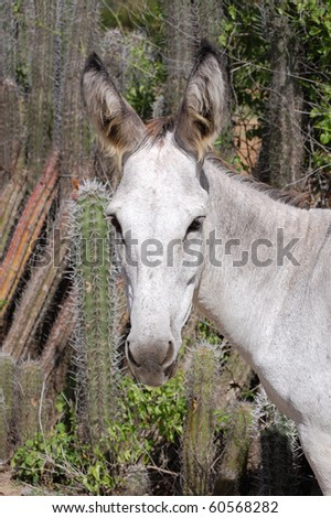 A young, wild donkey in Bonaire. - stock photo