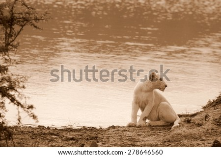 A young wild white lion cub looks for the rest of his family as he is the last to finish drinking at the water source. - stock photo