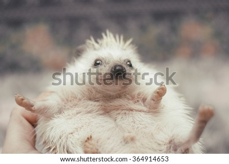 A young woman holds in her hand a thick young African pygmy hedgehog baby gray color white pinto