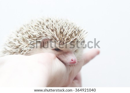 A young woman holds in her hand young small cute beautiful African pygmy hedgehog baby face color white pinto brown snowflake in white background