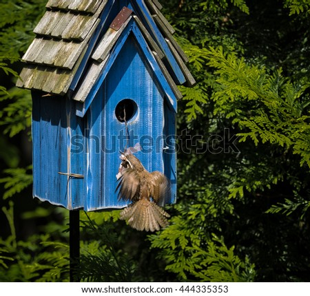 A young wren building a nest in a birdhouse.