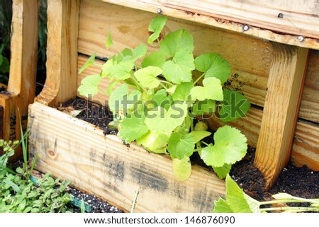 A young yellow squash plant growing in a slightly modified wooden pallet. - stock photo