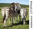 A young zebra standing in between two older zebras - stock photo