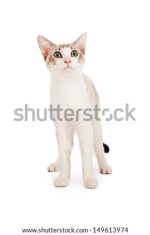A younger white kitten standing against a white background and looking up.