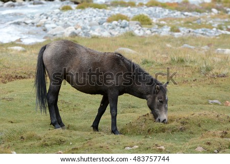 A Zanskari horse grazing in Ladakh, India.