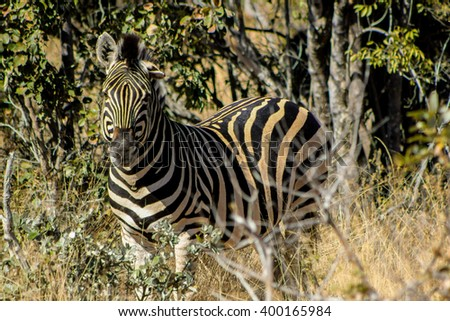 A zebra at a South African game reserve.  - stock photo