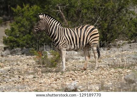 A zebra grazes on the savanna - stock photo
