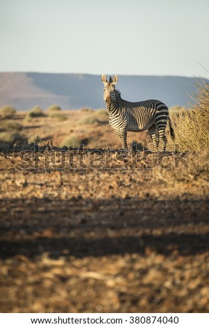 A zebra in the arid and deserted Palmwag concession in Damaraland, Namibia.