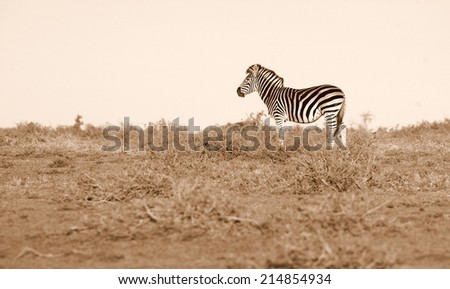 A zebra in this lanscape sepia tone image. - stock photo