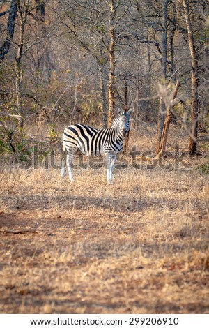 A Zebra is seen among trees at the Kruger National Park - stock photo