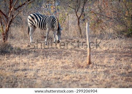 A Zebra is seen grazing grass at the Kruger National Park - stock photo