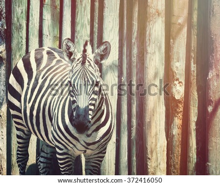 A zebra is standing against a wood wall with vertical lines and sun shining down on the animals stripes for a habitat or conservation concept. - stock photo