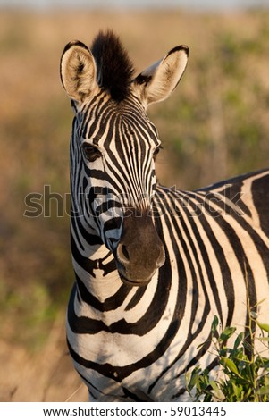 A zebra portrait in golden light