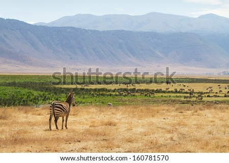 A zebra standing in the Ngorongoro crater, Tanzania, Africa. Zebras, Thomson's gazelle and elephant. - stock photo