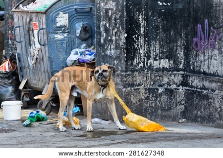 Abandoned dog on the street eating a plastic bag - stock photo