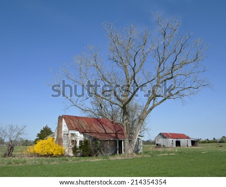 Abandoned farm shows signs of Spring with beautiful Forsythia in full bloom.  - stock photo