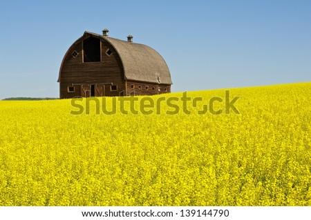 abandoned old barn on hillside of canola - stock photo