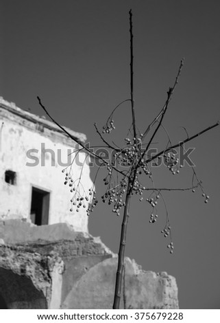 Abandoned ruined old house and a bare tree with dried fruits. Selective focus on the tree. Aged photo. Black and white. - stock photo