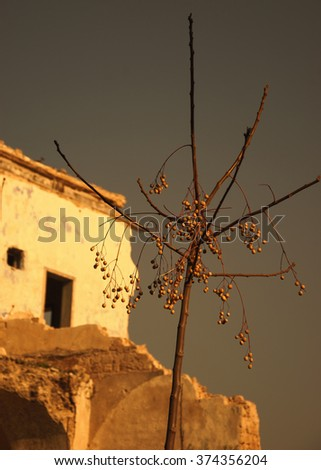 Abandoned ruined old house and a bare tree with dried fruits. Selective focus on the tree. Sunset golden light. Toned photo. - stock photo