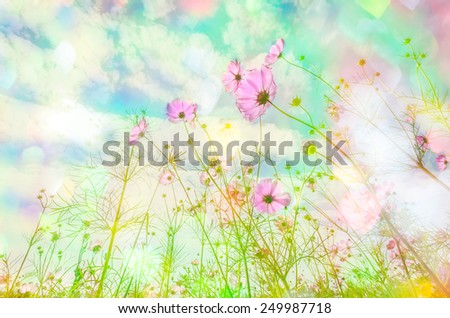 Abatract. Sweet color cosmos flowers in bokeh texture soft blur for background with pastel vintage retro style. - stock photo