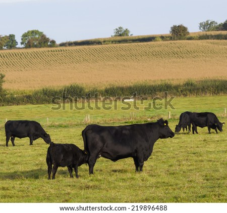 Aberdeen Angus calf suckling from mother - stock photo