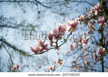 Abloom magnolia flowers in sunny spring day with blu sky  Large flowered tree in Magnoliaceae family blooming in springtime garden with pink petals against light blue background  - stock photo
