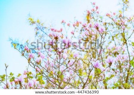 Abloom magnolia flowers on sunny spring day with clear sky Large flowered tree in Magnoliaceae family blooming in springtime with pink petals against light background, image with vintage filter effect - stock photo