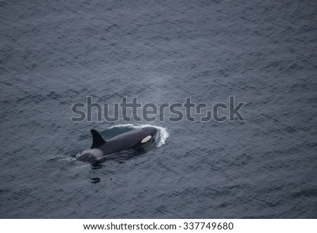 Above Aerial shot of Single Orca Swimming - stock photo