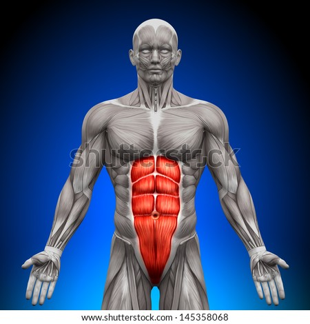 Abs - Anatomy Muscles - stock photo