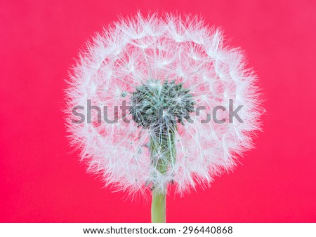 Abstact blowball - dandelion seeds on red background - stock photo